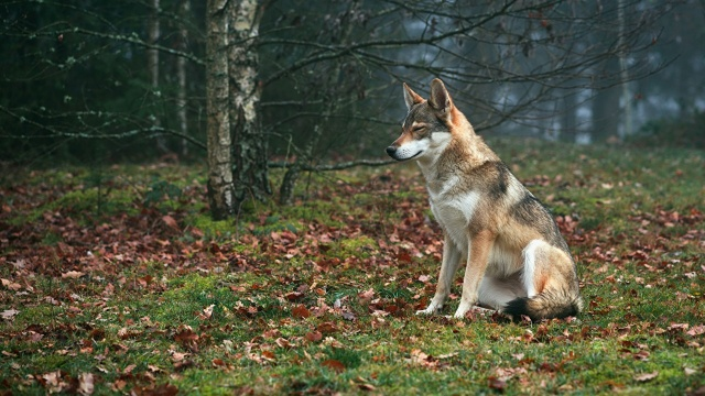 Wolves_Grass_Foliage_Sitting_574106_1280x720